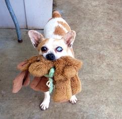 Bulldog Mix Dog For Adoption in Santa Clarita, CA