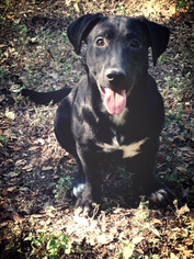 Labrador Retriever Dog For Adoption in San Antonio, TX