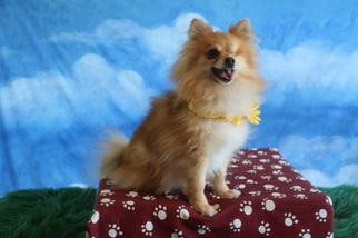 Pomeranian Dog For Adoption in Garland, TX, USA