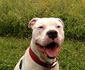 American Bulldog Mix Dog For Adoption in Lawrenceville, NJ, USA