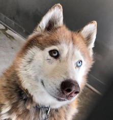 Siberian Husky Dog For Adoption near 98125, Seattle, WA, USA