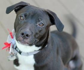 American Pit Bull Terrier-Labrador Retriever Mix Dog For Adoption in Boston, MA