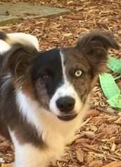 Australian Shepherd Mix Dog For Adoption in Fredericksburg, VA