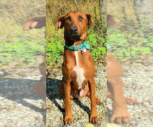 Labrador Retriever Dogs for adoption in Lake City, MI, USA