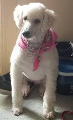 Sheepadoodle Dogs for adoption in Bowmanville, Ontario, Canada