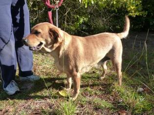 Chow Chow Mix Dog For Adoption in Conway, SC