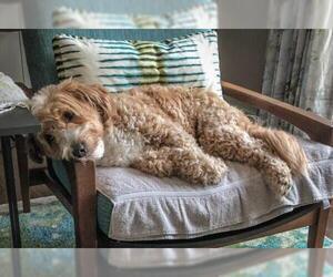 Goldendoodle (Miniature) Dogs for adoption in Bonita Springs, FL, USA