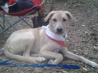 Labrador Retriever Mix Dog For Adoption in San Antonio, TX