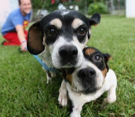 Beagle Mix Dog For Adoption in Sarasota, FL