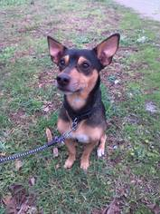 Miniature Pinscher Mix Dog For Adoption in Florence, AL, USA