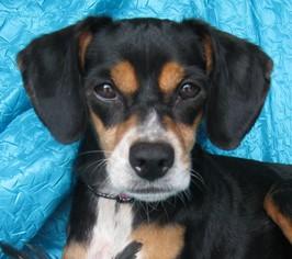 Meagle Dog For Adoption in Cuba, NY, USA