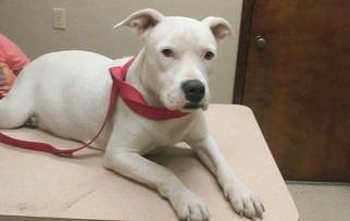 American Pit Bull Terrier Mix Dog For Adoption in Houston, TX, USA