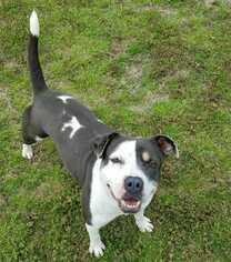 Small American Bulldog-American Staffordshire Terrier Mix