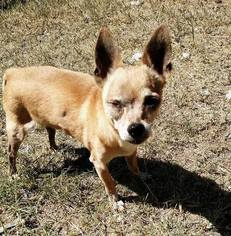 Chihuahua Dog For Adoption in Maricopa, AZ, USA