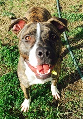 American Staffordshire Terrier Mix Dog For Adoption in Corning, CA