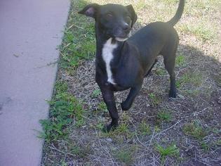 Dachshund-Labrador Retriever Mix Dog For Adoption in Naples, FL, USA
