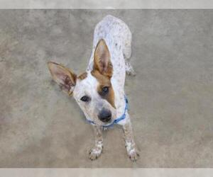 Australian Cattle Dog Dogs for adoption in Ojai, CA, USA