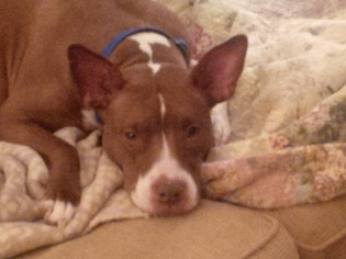 American Staffordshire Terrier Mix Dog For Adoption in Phoenixville, PA