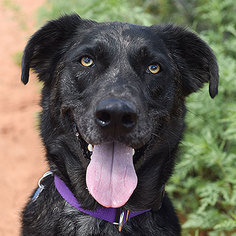 Catahoula Leopard Dog-Saluki Mix Dog For Adoption in Kanab, UT, USA