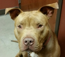 American Pit Bull Terrier Dog For Adoption in Denton, TX