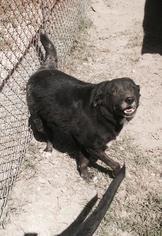 Labrador Retriever Mix Dog For Adoption in Albemarle, NC, USA