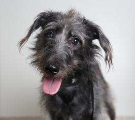 View Ad Irish Wolfhound Labrador Retriever Mix Dog For