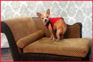 Chihuahua Dog For Adoption in Garland, TX