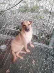 Chinese Shar-Pei-German Shepherd Dog Mix Dog For Adoption in Albemarle, NC