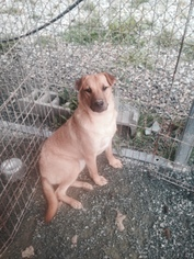 Chinese Shar-Pei-German Shepherd Dog Mix Dog For Adoption in Albemarle, NC, USA