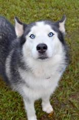 Siberian Husky Dog For Adoption in Cumming, GA