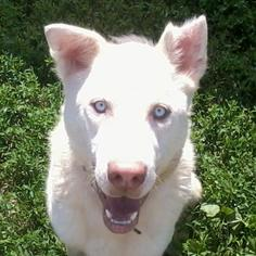 Siberian Husky Mix Dog For Adoption in Harvard, IL, USA