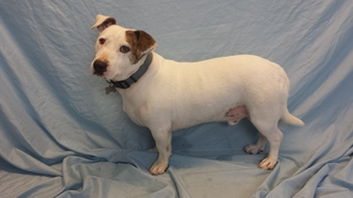 Jack Russell Terrier Mix Dog For Adoption in Encino, CA, USA