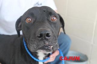 Bulldog Mix Dog For Adoption in Waycross, GA, USA
