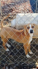 Labrador Retriever Mix Dog For Adoption in Albemarle, NC