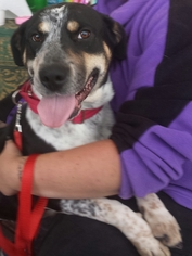 Bluetick Coonhound Mix Dog For Adoption in Porter Ranch, CA