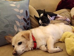 View Ad Pembroke Welsh Corgi Pomeranian Mix Dog For Adoption