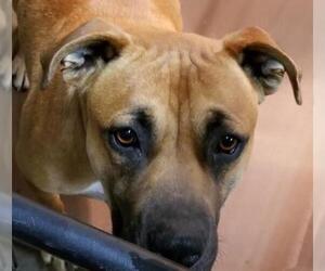 Mastiff Dogs for adoption in Dalzell, SC, USA