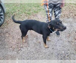 Labrador Retriever Dogs for adoption in Houston, TX, USA
