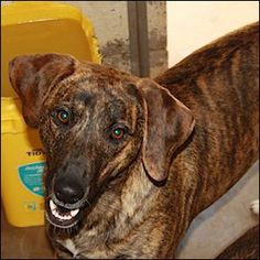 Beagle Mix Dog For Adoption in Shreveport, LA, USA