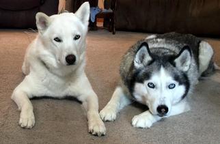 Siberian Husky Dog For Adoption near 98026, Seattle, WA, USA