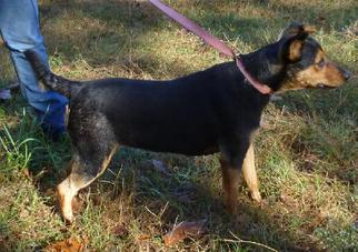 Doberman Pinscher Mix Dog For Adoption in Livingston, TX