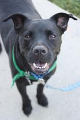 Labrador Retriever Mix Dog For Adoption in Washington, DC, USA