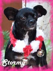 Boston Terrier-Italian Greyhound Mix Dog For Adoption in Anaheim Hills, CA, USA