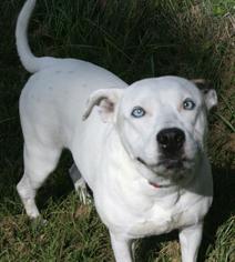 Dalmatian Mix Dog For Adoption in Sarasota, FL, USA