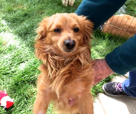 Chiweenie Dog For Adoption in San Diego, CA, USA