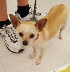 Chihuahua Dog For Adoption in Columbus, IN, USA