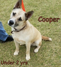 Akita-Labrador Retriever Mix Dog For Adoption in Weatherford, OK, USA
