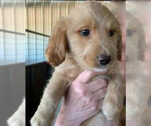 Goldendoodle (Miniature) Dogs for adoption in Pipe Creek, TX, USA