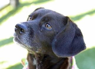 Beagle Mix Dog For Adoption in Cumming, GA, USA