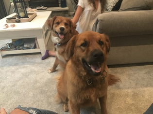 Puppyfinder Com Spangold Retriever Puppies For Sale And Spangold